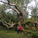 King John's Oak
